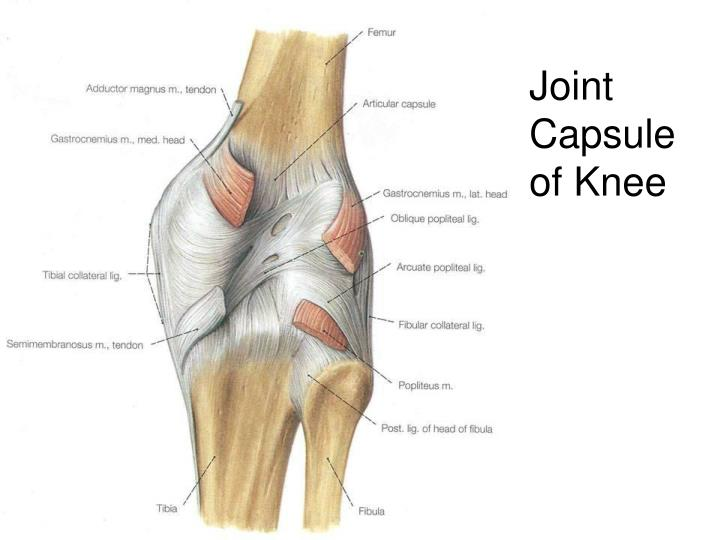 Joint Capsule of Knee