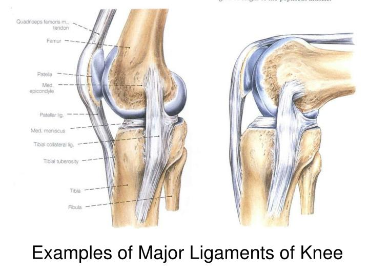 Examples of Major Ligaments of Knee
