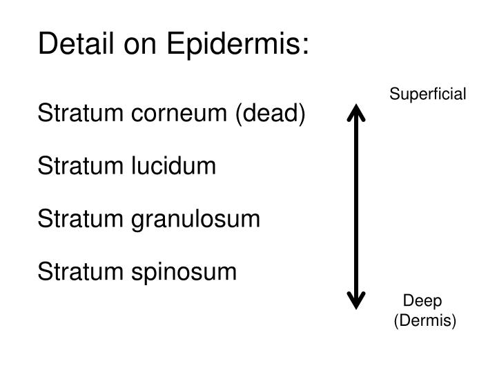 Detail on Epidermis:
