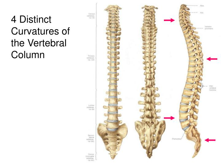 4 Distinct Curvatures of the Vertebral Column
