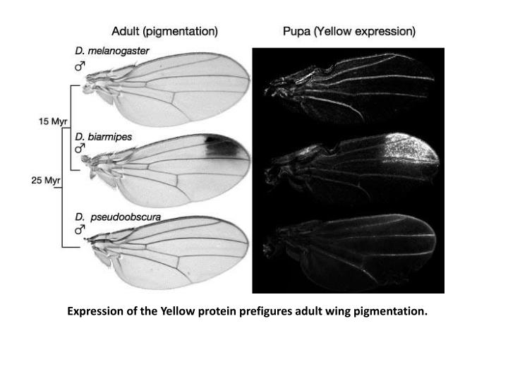 Expression of the Yellow protein prefigures adult wing pigmentation.
