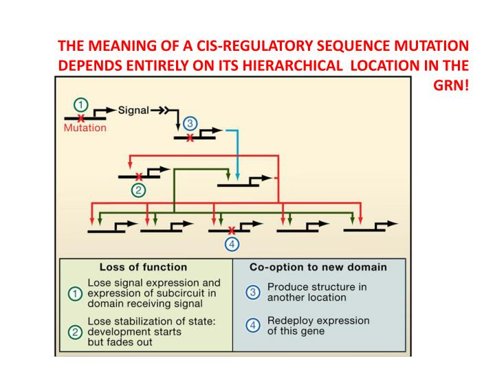 THE MEANING OF A CIS-REGULATORY SEQUENCE MUTATION DEPENDS ENTIRELY ON ITS HIERARCHICAL  LOCATION IN THE GRN!