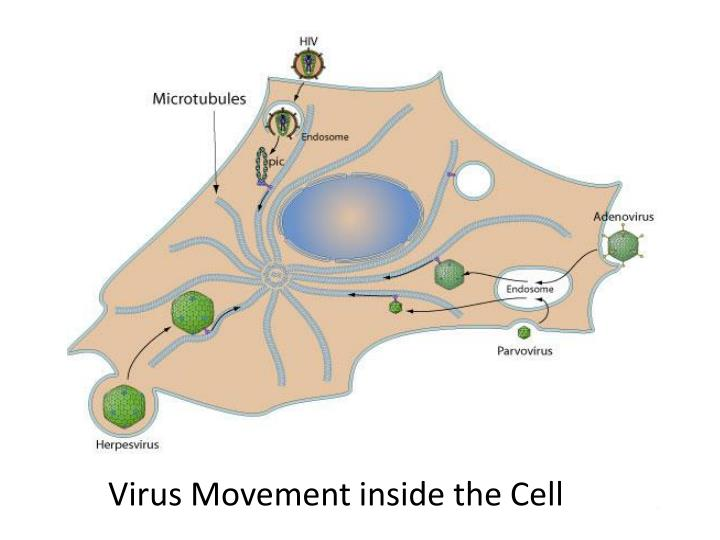 Virus Movement inside the Cell