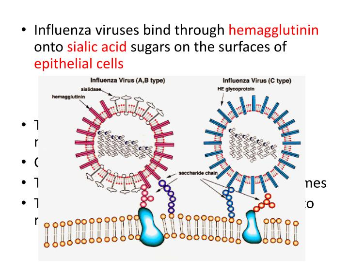 Influenza viruses bind through