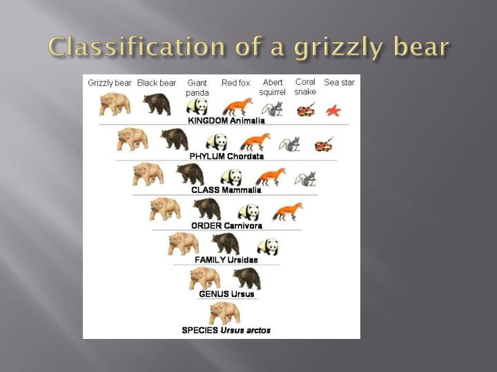 Classification of a grizzly bear