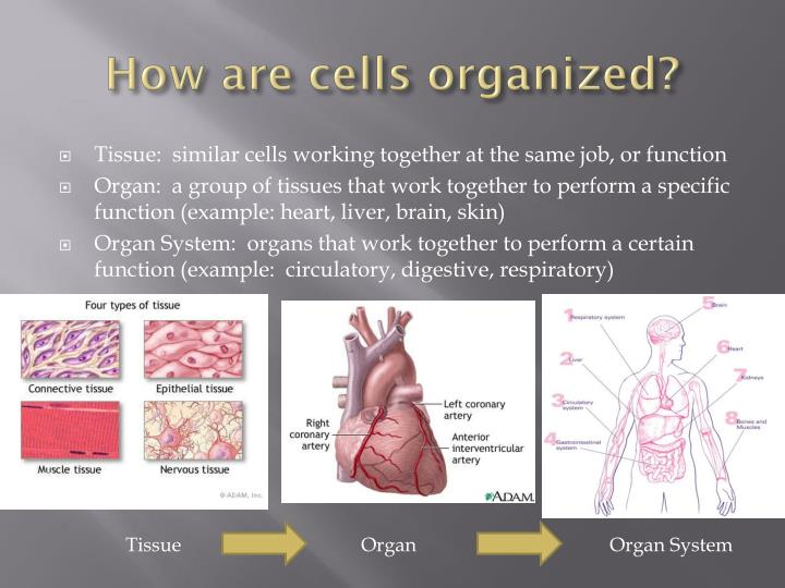 How are cells organized?