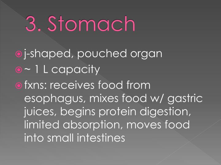 3. Stomach