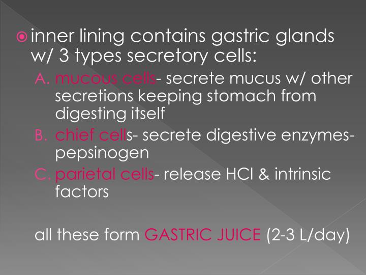 inner lining contains gastric glands w/ 3 types
