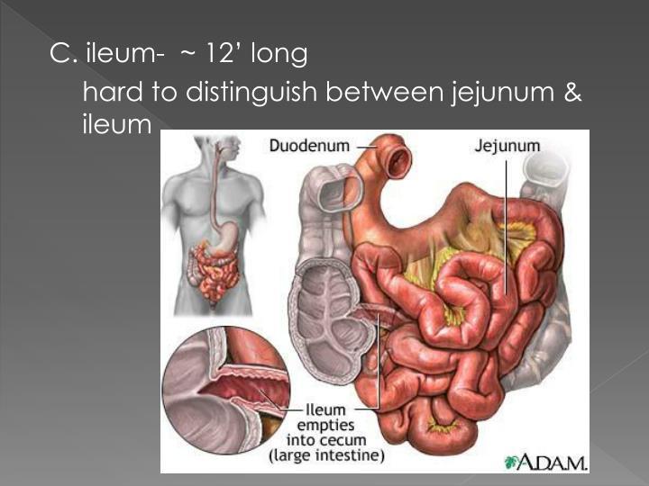 C. ileum-  ~ 12' long