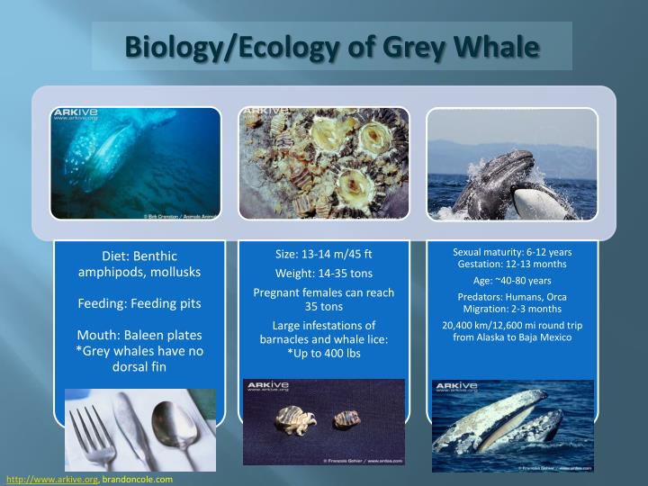 Biology ecology of grey whale
