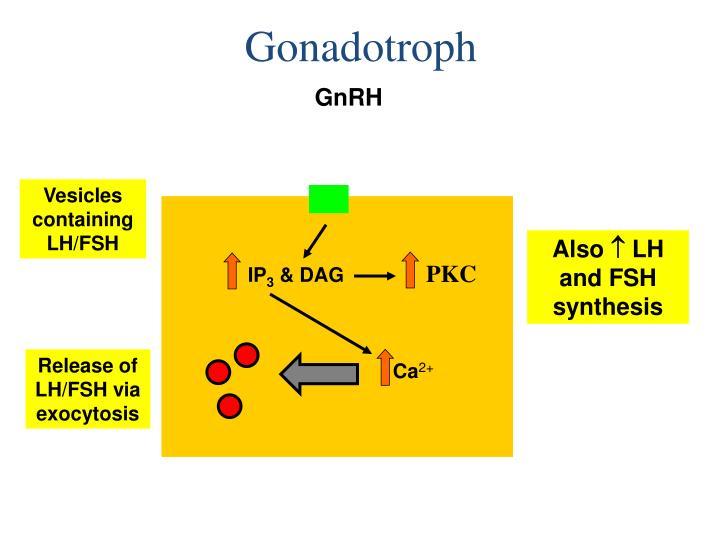 Gonadotroph