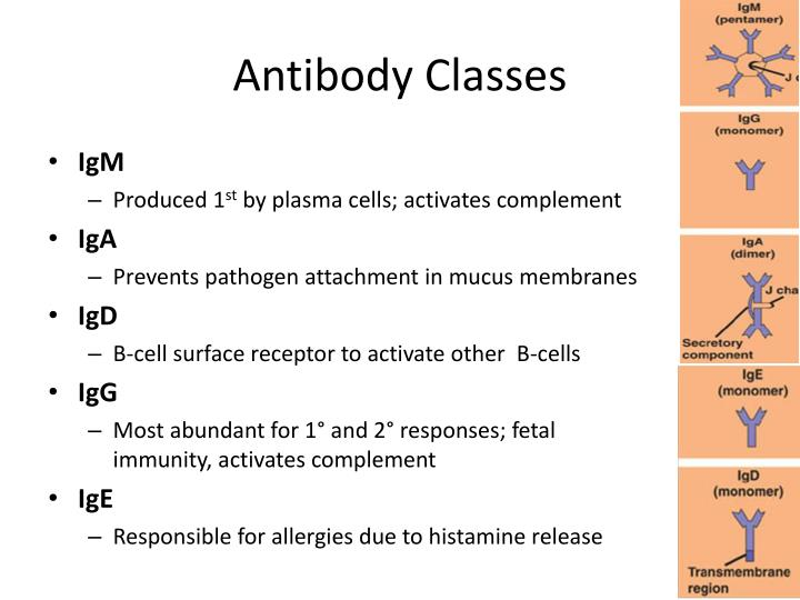 Antibody Classes