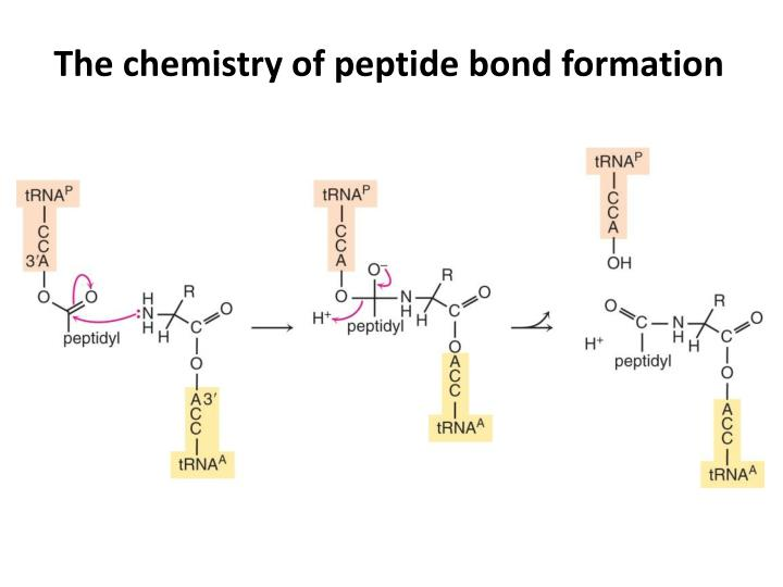 The chemistry of peptide bond formation