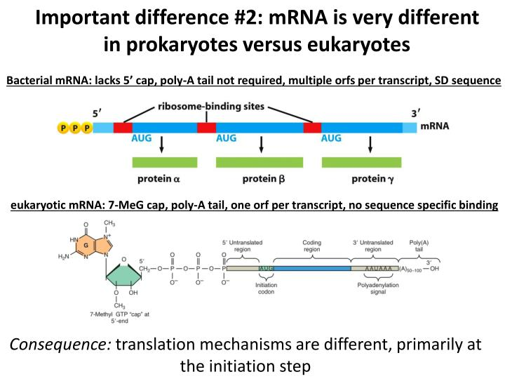 Important difference #2: mRNA is very different in prokaryotes versus eukaryotes