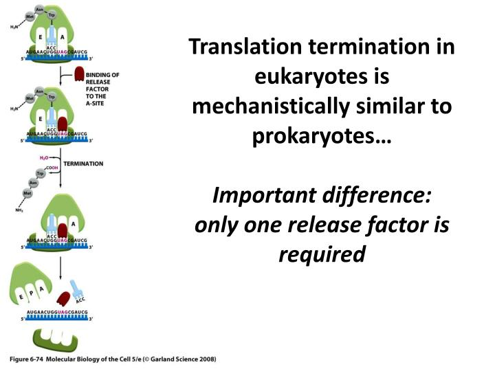 Translation termination in eukaryotes is mechanistically similar to prokaryotes…