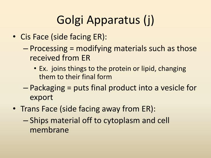 Golgi Apparatus (j)