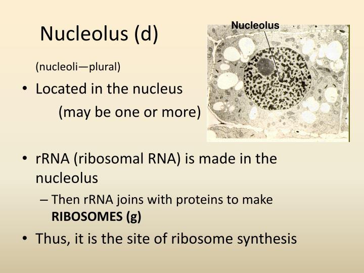 Nucleolus (d)