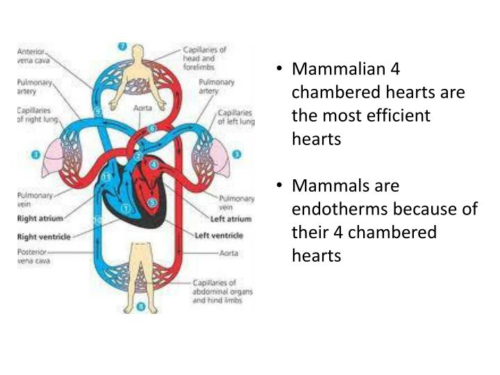 Mammalian 4 chambered hearts are the most efficient hearts