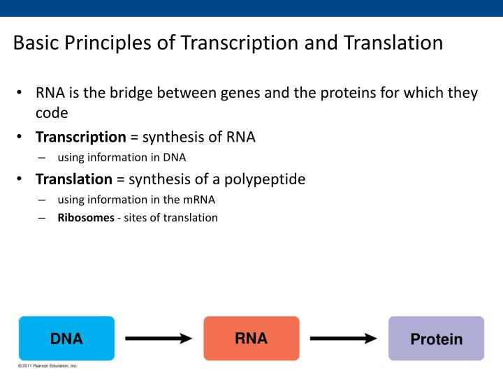 Basic principles of transcription and translation