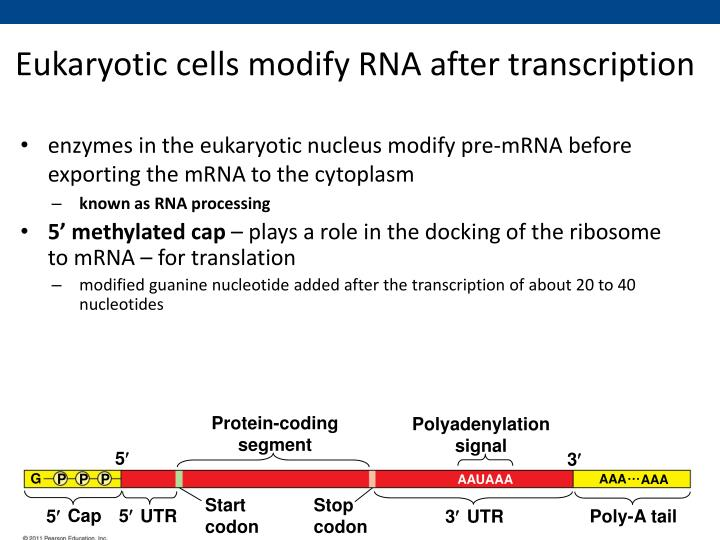 Eukaryotic cells modify RNA after transcription