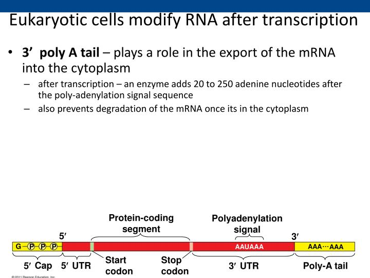 Eukaryotic cells modify RNA after transcription