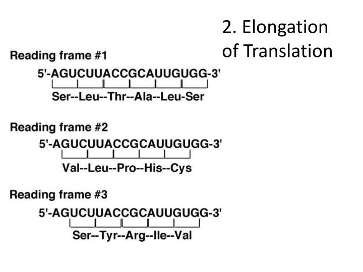 2. Elongation of Translation