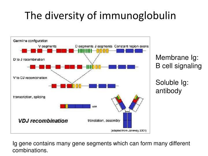 The diversity of immunoglobulin
