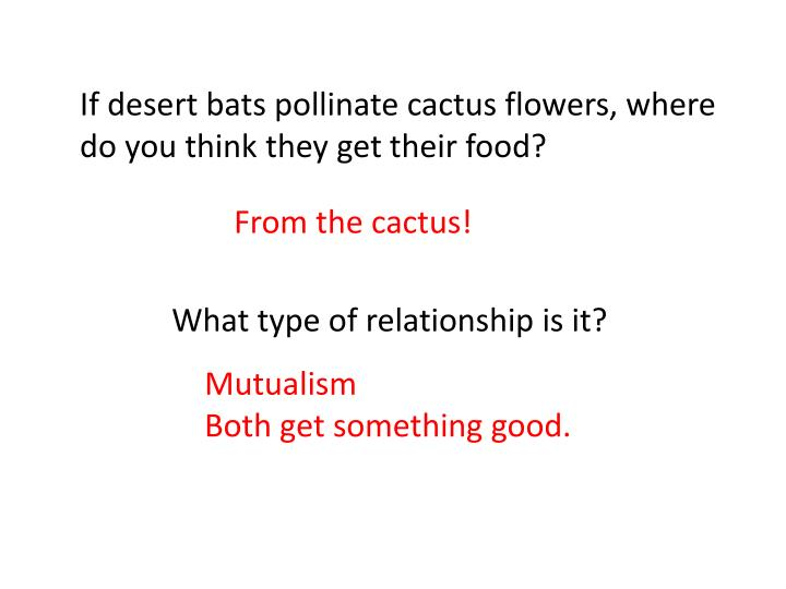 If desert bats pollinate cactus flowers, where do you think they get their food?