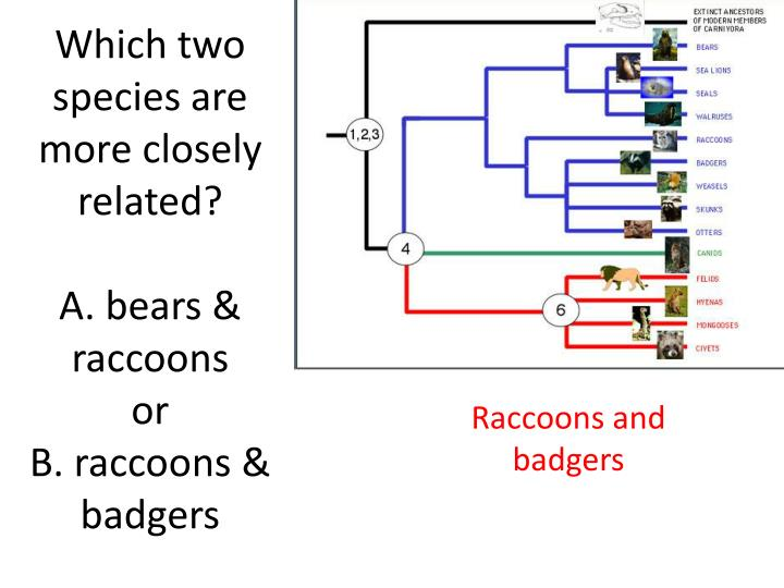 Which two species are more closely related a bears raccoons or b raccoons badgers