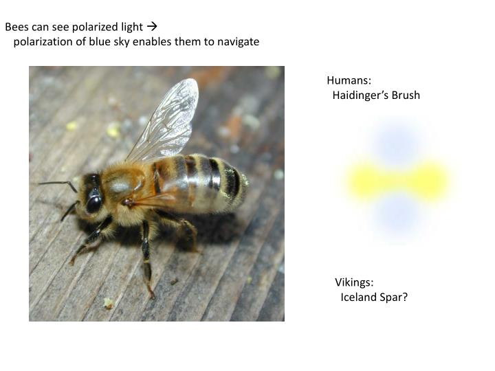 Bees can see polarized light