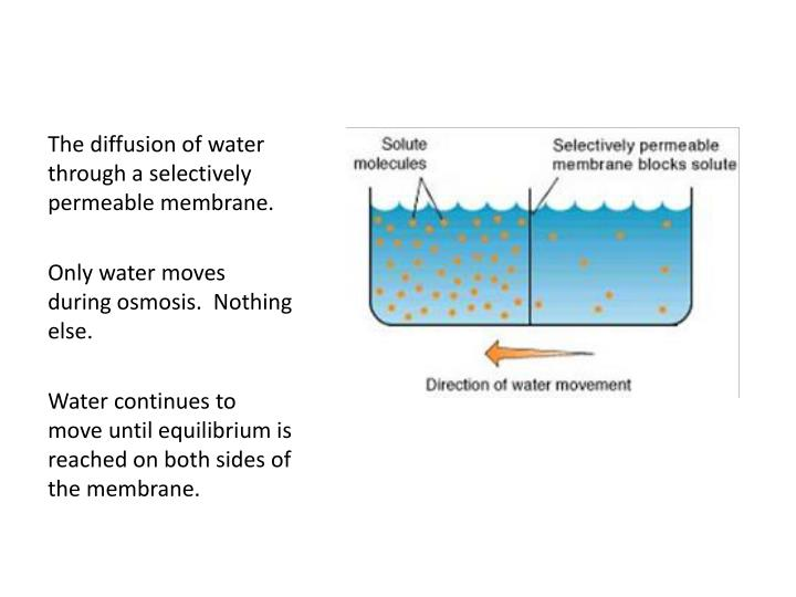 The diffusion of water through a selectively permeable membrane.