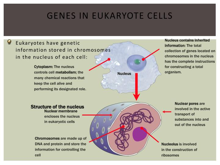 Nucleus contains inherited information