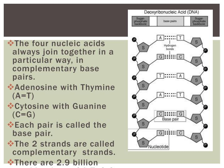 The four nucleic acids always join together in a particular way, in complementary base pairs.