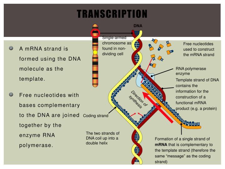 RNA polymerase enzyme