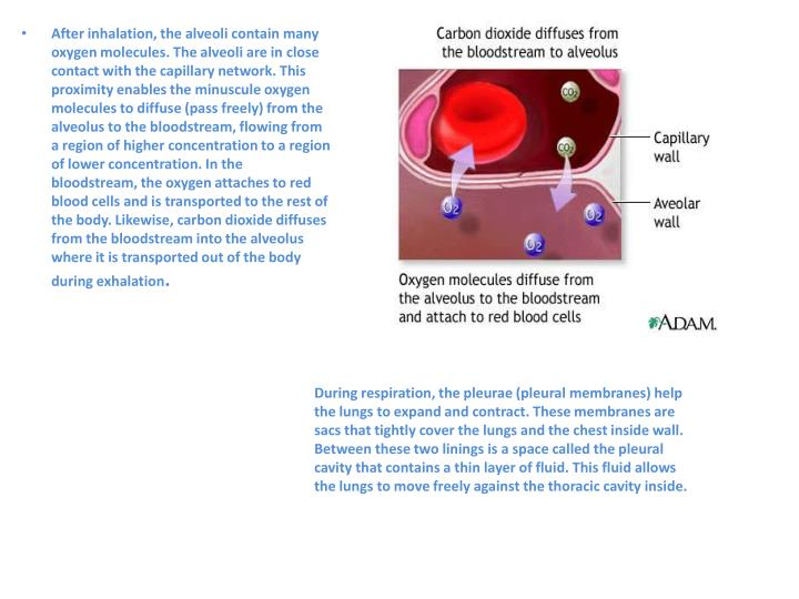 After inhalation, the alveoli contain many oxygen molecules. The alveoli are in close contact with the capillary network. This proximity enables the minuscule oxygen molecules to diffuse (pass freely) from the alveolus to the bloodstream, flowing from a region of higher concentration to a region of lower concentration. In the bloodstream, the oxygen attaches to red blood cells and is transported to the rest of the body. Likewise, carbon dioxide diffuses from the bloodstream into the alveolus where it is transported out of the body during exhalation
