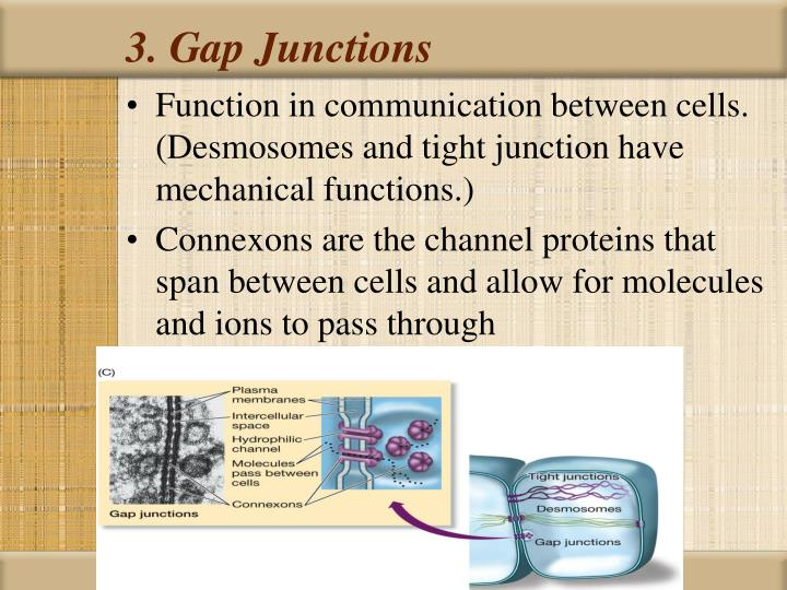 3. Gap Junctions
