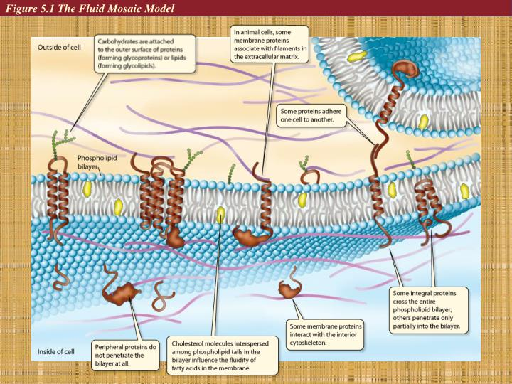 Figure 5.1 The Fluid Mosaic Model