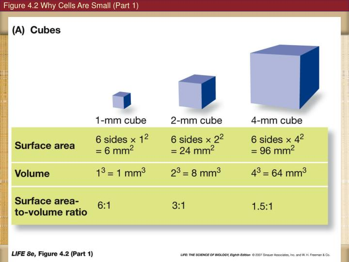 Figure 4.2 Why Cells Are Small (Part 1)
