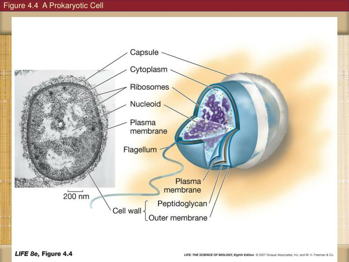 Figure 4.4  A Prokaryotic Cell