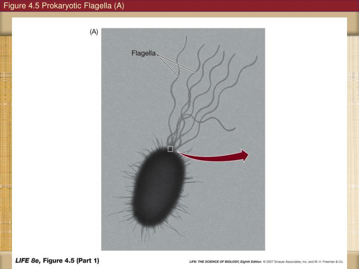 Figure 4.5 Prokaryotic Flagella (A)
