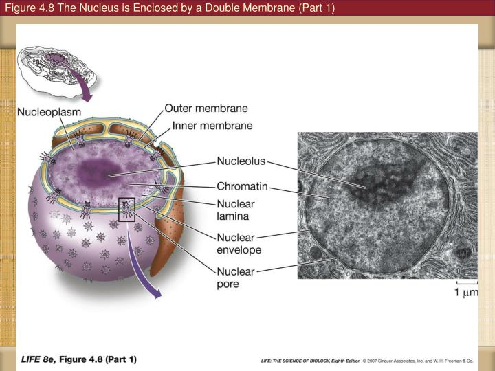 Figure 4.8 The Nucleus is Enclosed by a Double Membrane (Part 1)