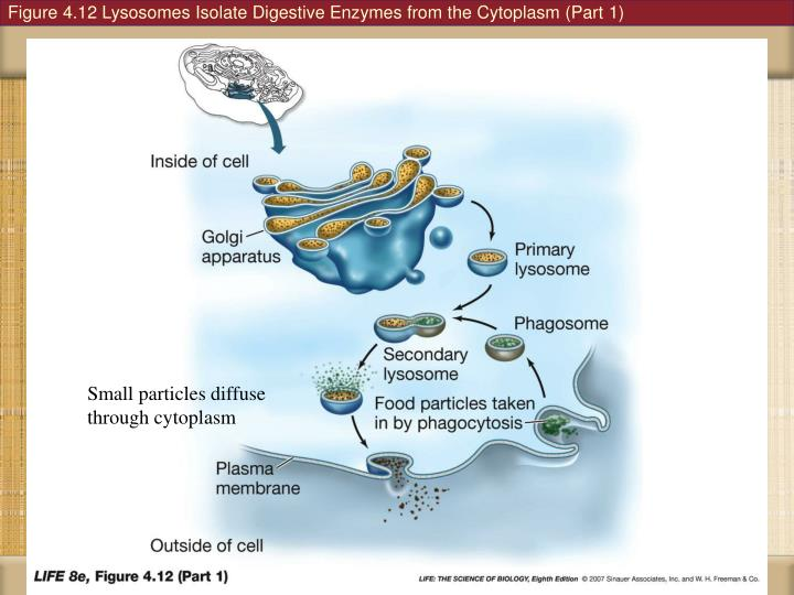 Figure 4.12 Lysosomes Isolate Digestive Enzymes from the Cytoplasm (Part 1)