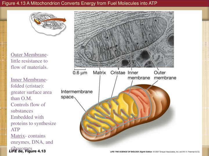 Figure 4.13 A Mitochondrion Converts Energy from Fuel Molecules into ATP