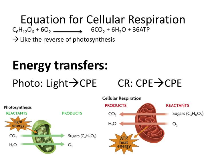 Equation for Cellular Respiration
