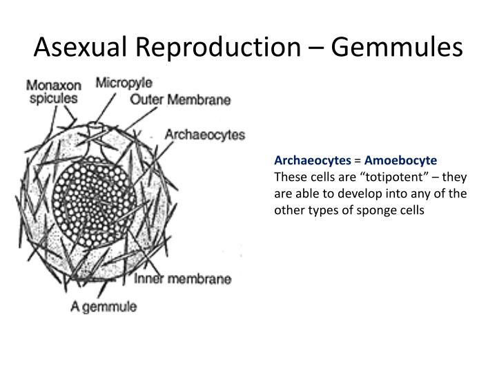 Asexual Reproduction –