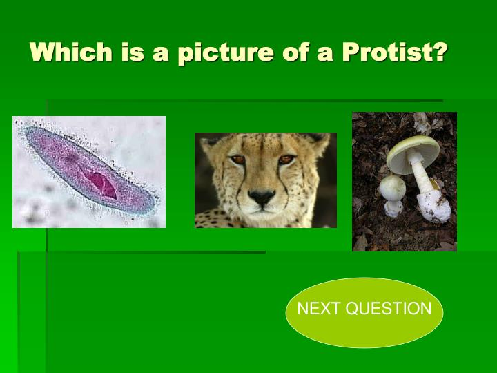 Which is a picture of a Protist?