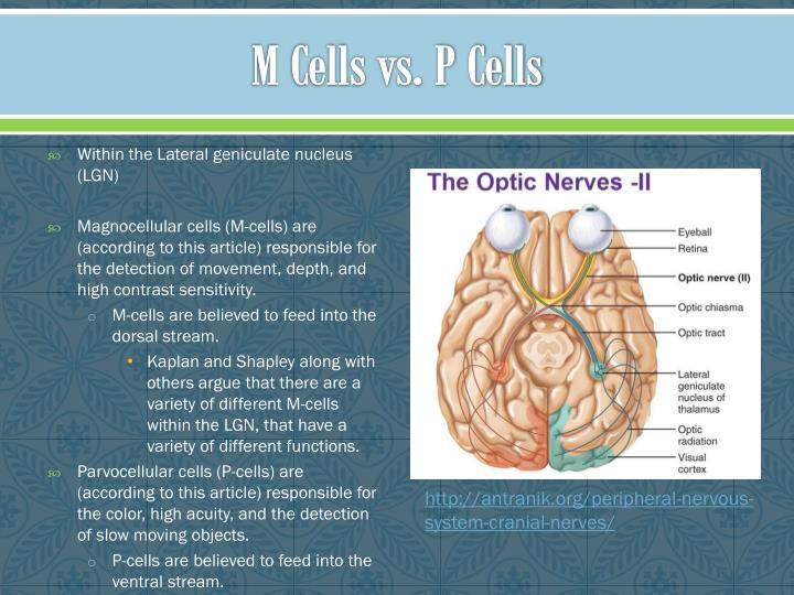 M Cells vs. P Cells