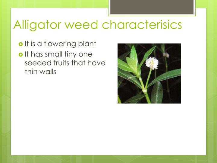 Alligator weed