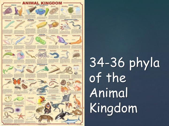 34 36 phyla of the animal kingdom