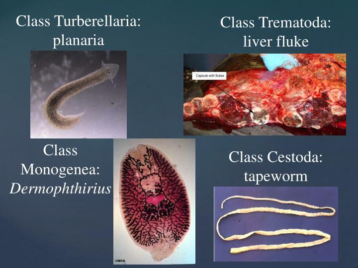 Class Turberellaria: planaria
